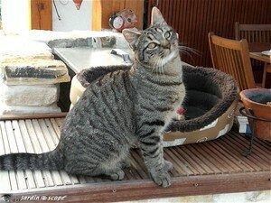 Chat domestique • Felis silvestris catus