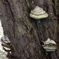 Polypore amadouvier • Formes fomentarius • Famille Hymenochaetac