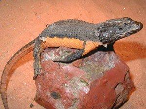 cordylus warreni regius 25 cm