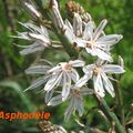 12-flore méditerranéenne Asphodèle