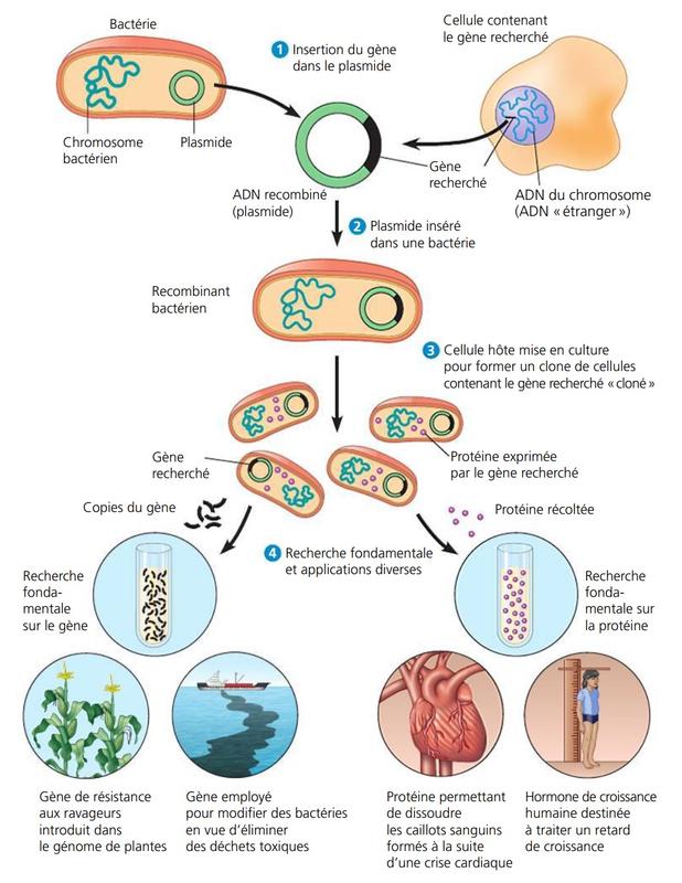 clonage génétique usage des gènes clonés