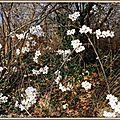 Merisier fleuri 120315