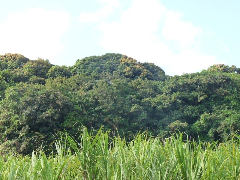 champs de canne à sucre, Ste Suzanne