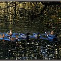 Colverts et reflets Lac Mimizan