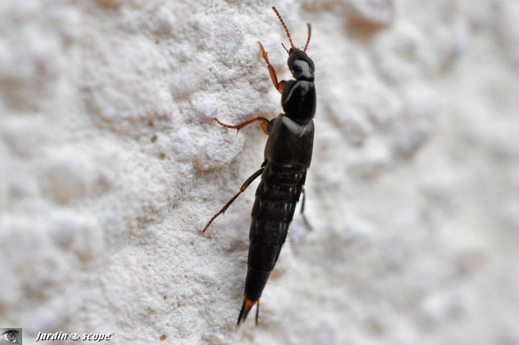 Quedius mesomelinus • famille des Staphylinidae