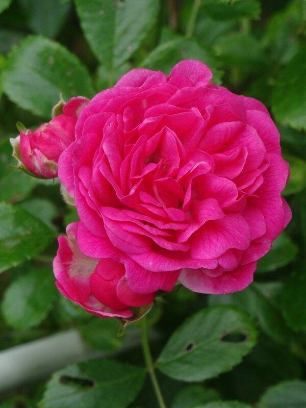 rose du petit sapin bleu