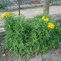 2008 07 02 Mes lis des Incas en fleur
