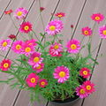 Marguerites roses