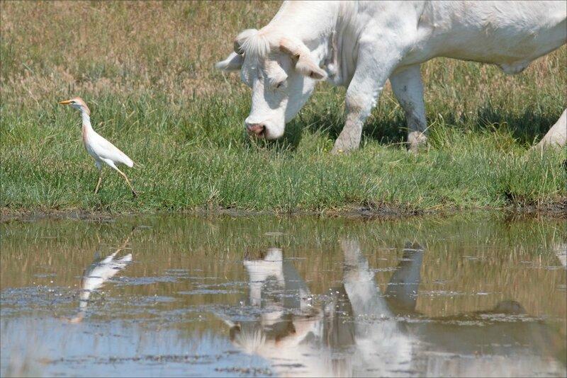 MS oiseau garde-boeuf vache 140617 2