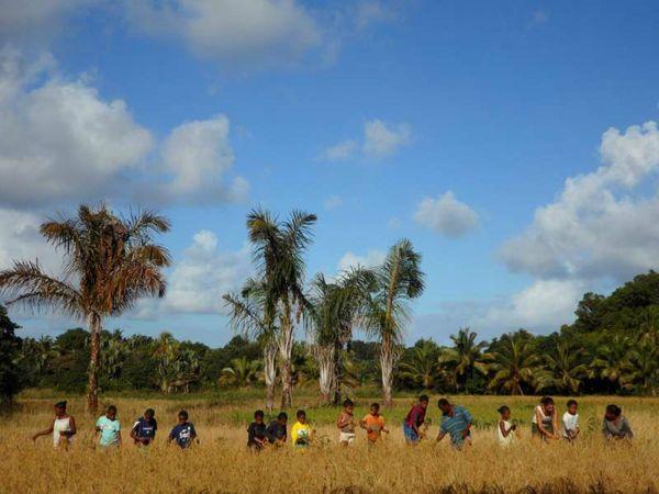 récolte de riz (2)