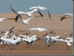 9996 vol de p�licans
