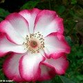 Rose Betty-Boop