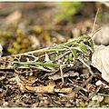 Oedipode soufrée : oedaleus decorus