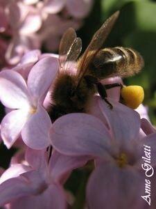 L'effondrement des colonies d'abeilles domestiques ou sauvages est une réalité