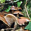 Collybia fusipes (1)