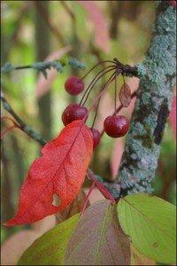 cerisier_d_automne1