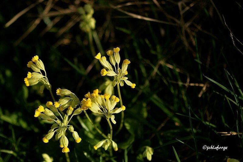 Fleurs de la Bellone 0415 (2)