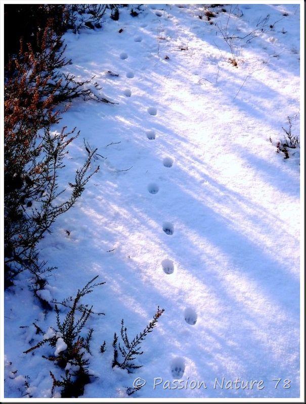 Traces d'animaux dans la neige (8)
