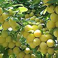Cueillette de prunes
