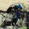 Paon bleu et paonne- photos