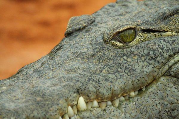 Crocodile 02