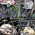 Russula sp