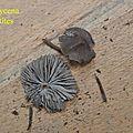 Mycena aetites 2