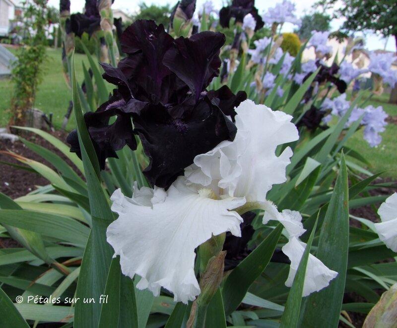 iris_noir+blanc