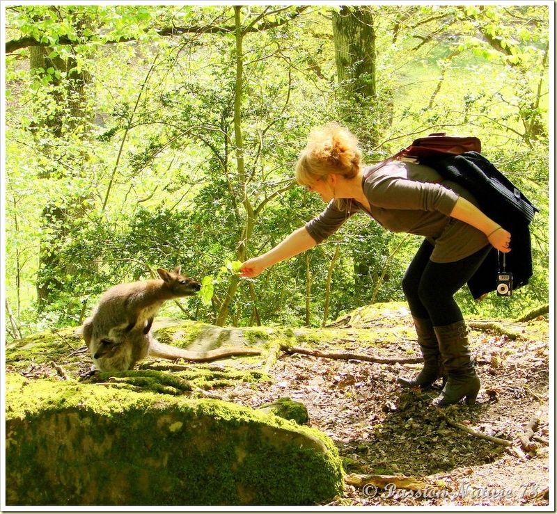 wallabies de la forêt de Rambouillet (30)