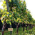 Le vignoble Guimbelot de Henri Jammet.