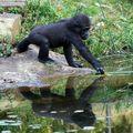 gorille_jeune
