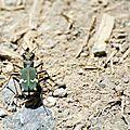 Cicindèle des bois - Cicindela sylvicola (2)