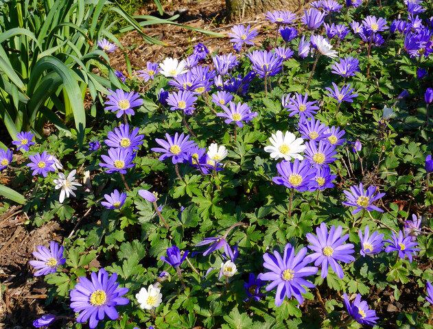 anemone-blanda-grece-bleu-blanc