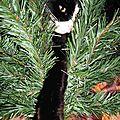 Vive Noël, moi je vais vous aider à monter le sapin ! Chat noir et blanc dans sapin de Noël en construction - Chat coquin farces et attrape