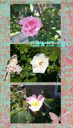 photos roses jardin