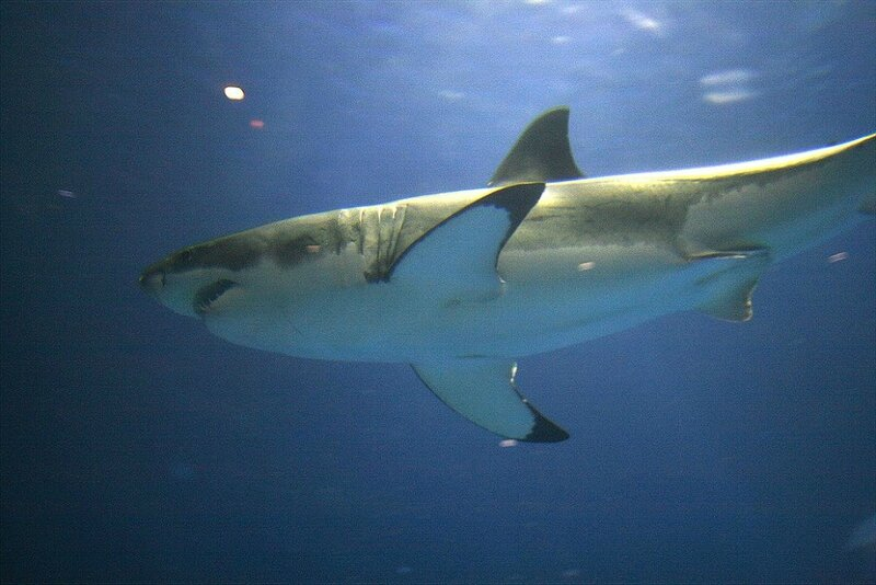 GRAND REQUIN BLANC A L'AQUARIUM DE MONTEREY