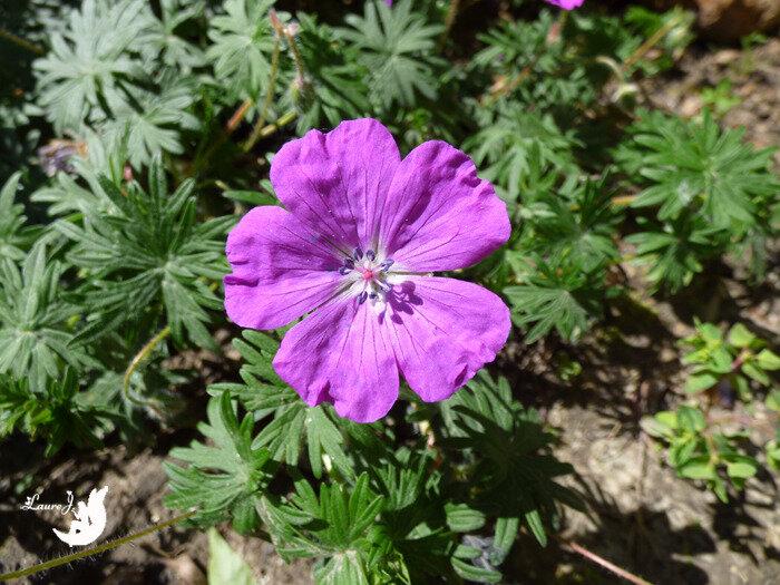 geranium sanguin 6