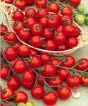 tomate cerise sweet 100 (2)
