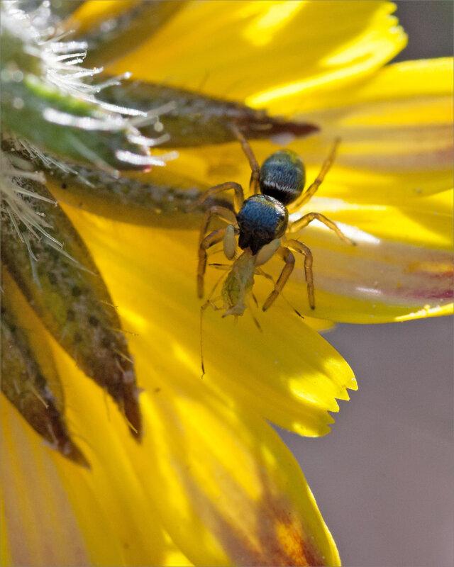 SM ville araign saltique puceron fleur 250918 ym 8