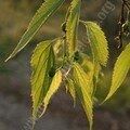 végétation locale - micocoulier