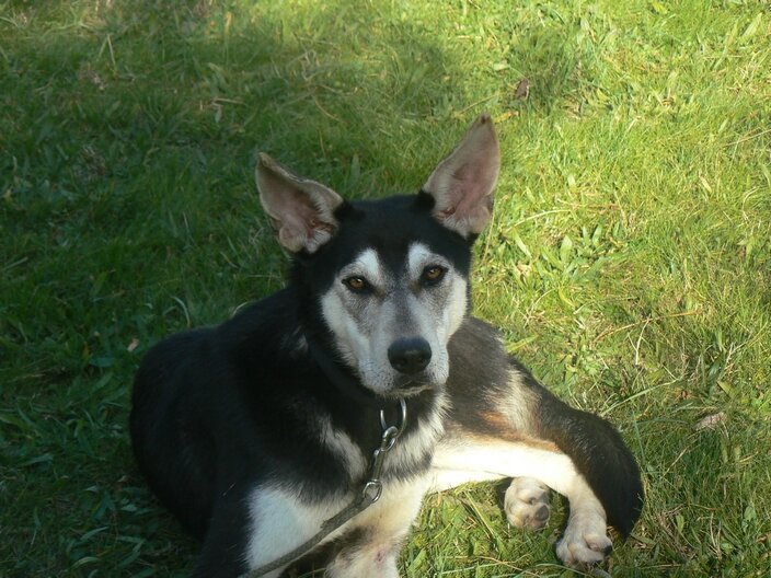 Twister Femelle Croisee Husky A Adopter 34 Animaux Et Cie