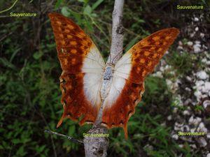 papillon_2