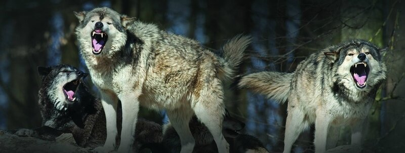 WolfPack-image-980x370
