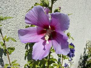 Hibiscus de jardin • Hibiscus syriacus