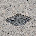 Pseudoterpna coronillaria, l'hémithée de l'ajonc
