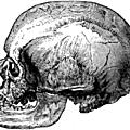 Cro-magnon (homo sapiens)