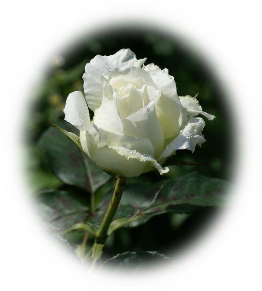 rose_blanche-dsc019852