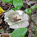 Russula heterophylla (1)