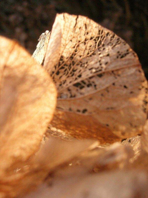 Les hortensias en hiver revêtent leus habits de dentelle (vue 2) Février 2008