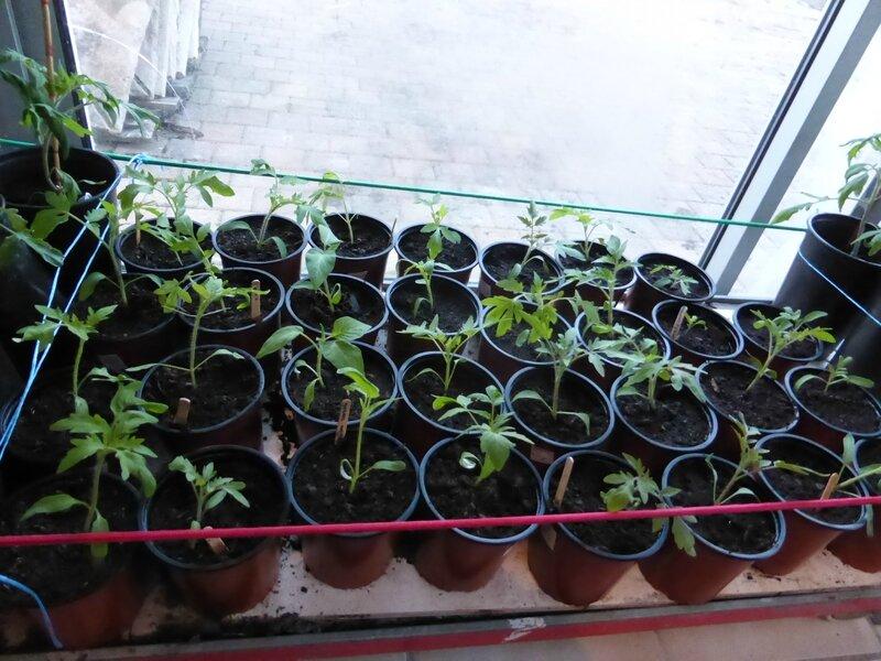 1-semis pots (3)